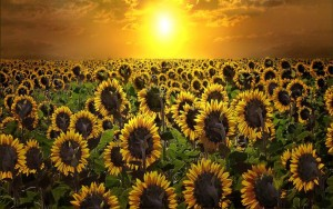 ws_Sunrise_&_Sun_Flowers_1920x1200