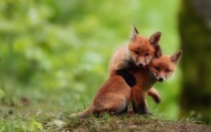 baby-foxes